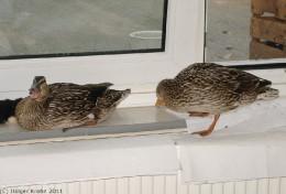 Fenster-Enten