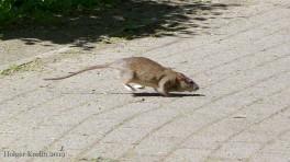 Rattenplage - 9599