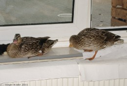 Fenster-Enten