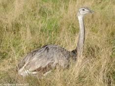 Emu - 8482