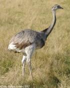 Emu - 8486