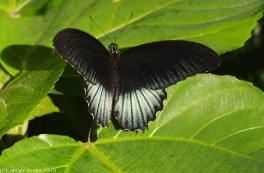 Tropischer Schmetterling I