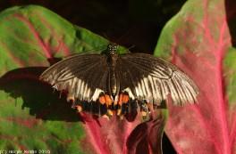 Tropischer Schmetterling IV