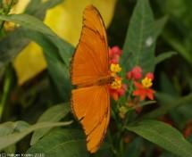 Tropischer Schmetterling II