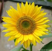 Sonnenblume I