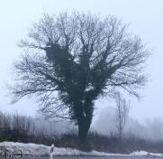 Wintereiche - 0151