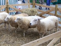 Schafe aus Trent