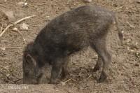 Wildschwein - 3459