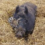 Wildschwein-Nachwuchs - 6376
