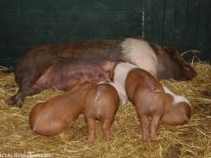 Schweinerei - 8886