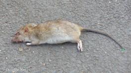 Rattenleiche - M2790