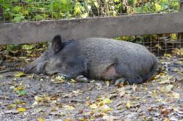Wildschwein - 2013